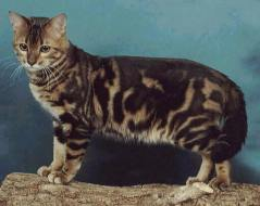 Marbled tabby